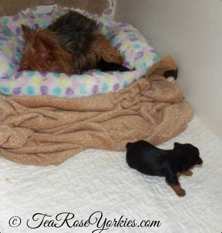 can yorkies eat eggs yorkie puppies yorkie teacup tea yorkies