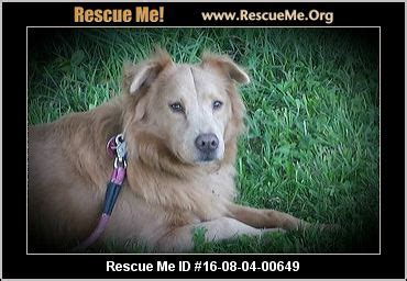ohio golden retriever rescue ohio golden retriever rescue adoptions rescueme org