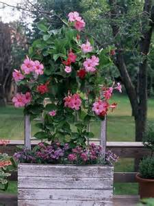 heat loving plants heat loving container garden plants flowering vines