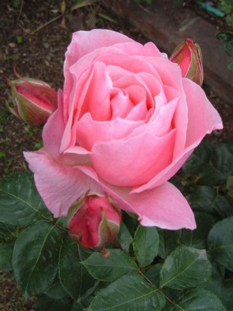 imagenes rosas variadas fotos de flores rosas de varios colores