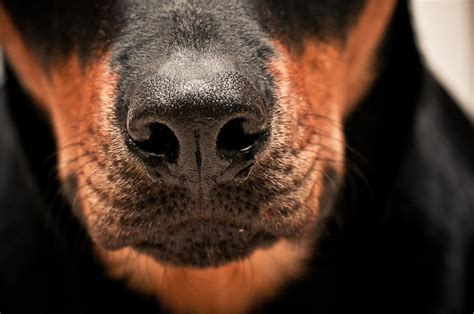 nose rottweiler 1510 best images about rottweiler on rottweiler mix best dogs and