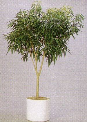 ficus alii top  air purifying house plants