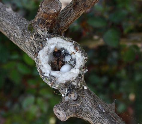 hummingbird nest with hatching eggs natures beauties