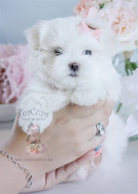 maltese puppy for sale teacup and maltese puppies teacups puppies boutique