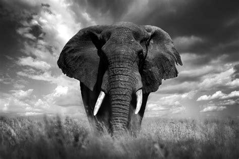wallpaper elephant black white black and white pictures of elephants www pixshark com