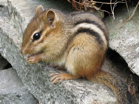 a chipmunk eastern chipmunk