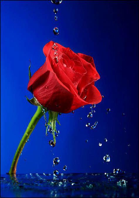 imagenes de flores individuales gifs de fantasia gato y rosa roja buscar con google