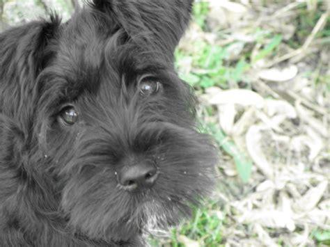 schnauzer puppies ohio miniature schnauzer puppies cincinnati ohio 4k wallpapers