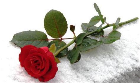 Bunga Mawar Asli Bentuk Cocok Untuk Kado Hadiah floristdisurabaya sebuah sederhana yang berisi
