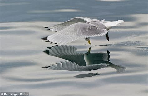 Photo Op Flying At by Seagull Comes To With Its Own Reflection Daily