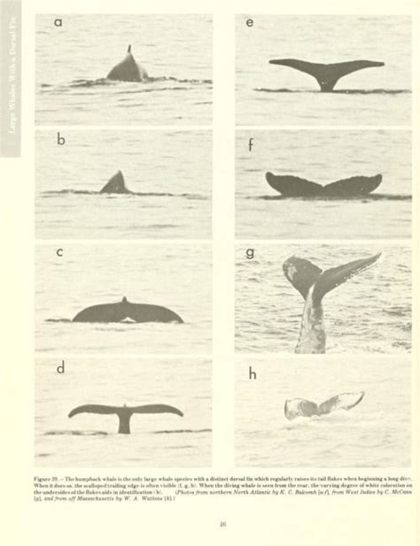 whales dolphins and porpoises of the western atlantic a guide to their identification classic reprint books 315 best images about whales mammal cetaceans on