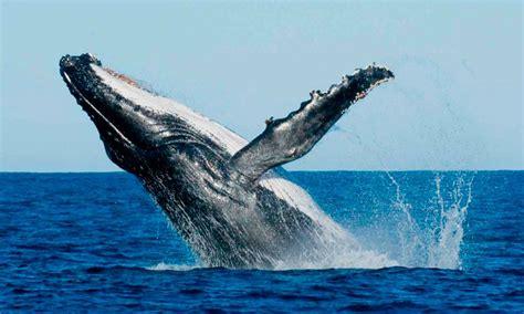 imagenes sorprendentes de ballenas fotos hd de ballenas im 225 genes y fotos