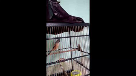 kicauan burung cendetpentet semi jatim youtube