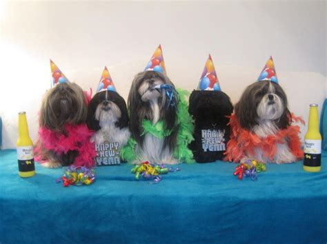 years shih tzu new year s celebrations shih tzu costumes for the hubpages