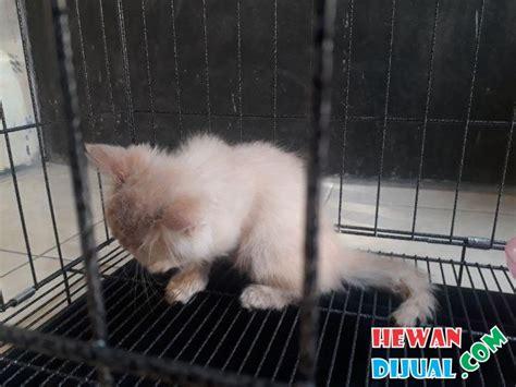 Kitten Medium Lucu 1 ekor kucing medium bonus pakan proplan kitten 5