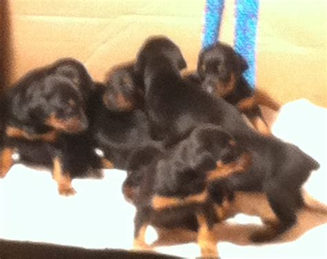 doberman puppies illinois massie purebreds doberman pinscher breeder marion illinois
