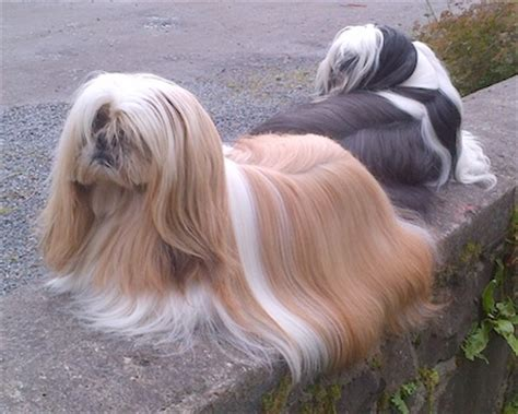 grooming shih tzu shih tzu grooming styles pictures shih tzu dogs breeders reviews and pictures