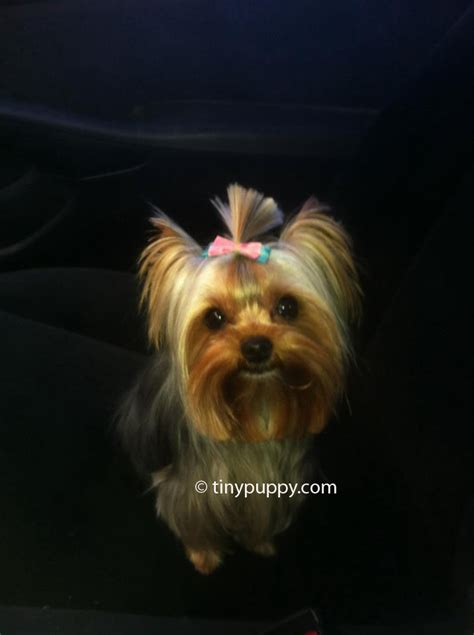tiny yorkie haircuts tiny hair for tiny yorkies stylish yorkie models trendy