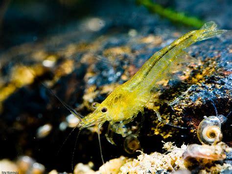 Yellow Shrimp yellow shrimp neocaridina heteropoda var yellow guitarfish