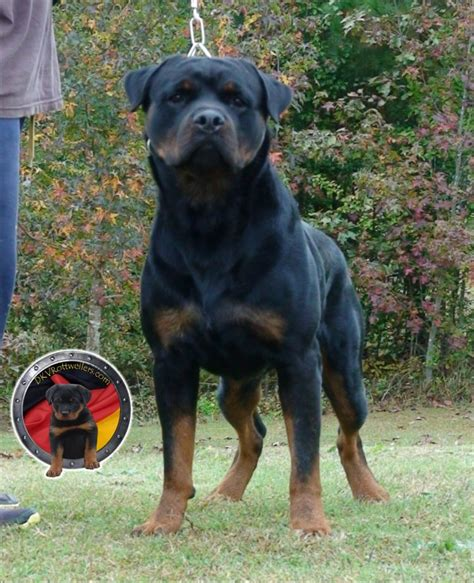 dkv rottweilers german rottweiler puppies for sale