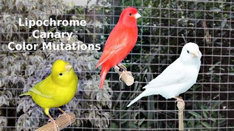 canary color lipochrome canary color mutations