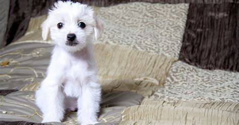 small hypoallergenic dogs top 10 hypoallergenic small dogs dogtime