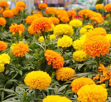 Marigold Flower Garden Marigold Sparky Mix Asia Seeds