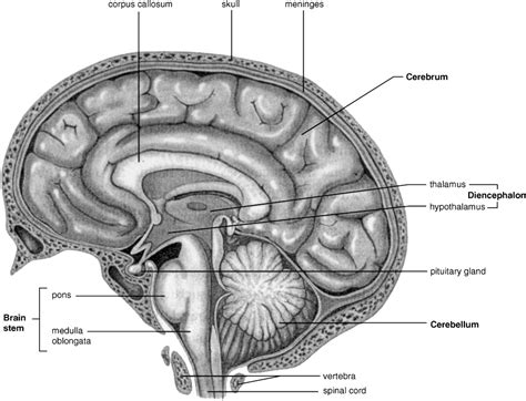 brain midsagittal section definition of brain and spinal cord chegg com