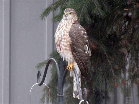 hawks in calgary archives birds calgary