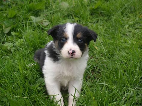 haired border collie puppies haired border collie puppies keighley west pets4homes