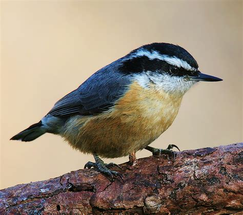 birds of the world red breasted nuthatch