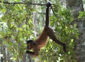 real monkey hanging from tree monkey specie list monkeyland primate