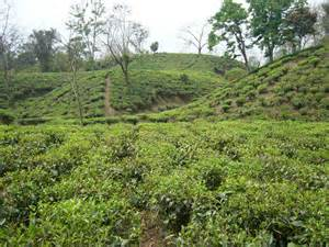 file tea garden srimongol sylhet bangladesh 2 jpg
