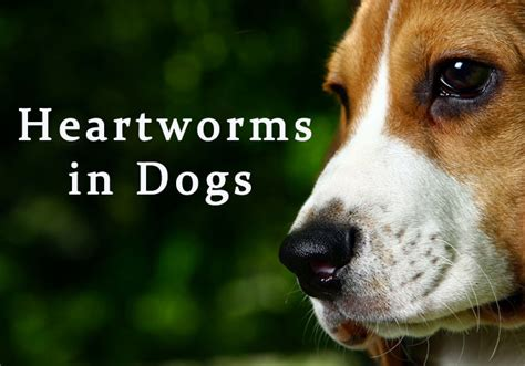 heartworms in dogs all you want to about heartworms in dogs bestvetcare