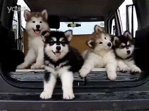 puppy gif husky puppies gif