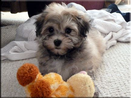 havanese puppies in minnesota picture gallery riverhill havanese
