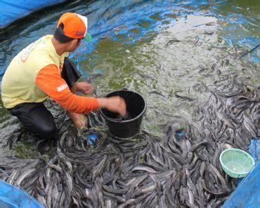 Panen Ikan 25 Bulan tips budidaya ikan lele 2 bulan langsung panen gedubar
