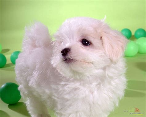 baby puppy white baby wallpaper 15317