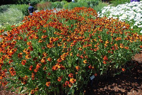 summer flowering heleniums     sneeze