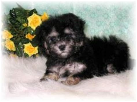 maltese puppies for sale in ms maltese puppies in mississippi