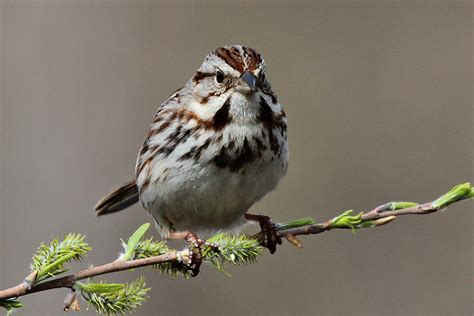 song sparrow back yard biology