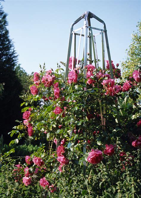 Obelisk Garten Rankhilfe by Bild Obelisk Als Rankhilfe Seite 3703 14774 Familienheim Und Garten
