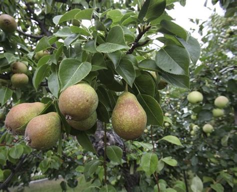 types of fruit trees with pictures the winnipeg free press store