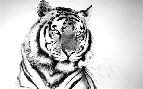 tiger wallpaper black and white hd white tiger wallpapers 4usky com