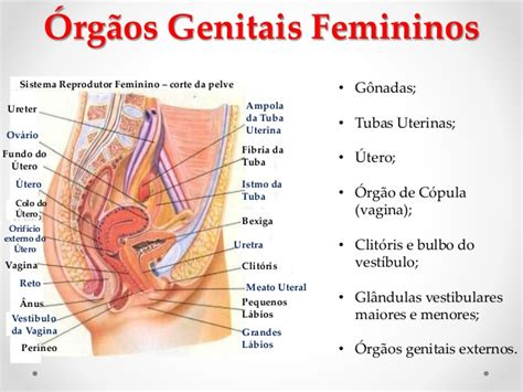 vestibulo feminino slide sistema genital feminino
