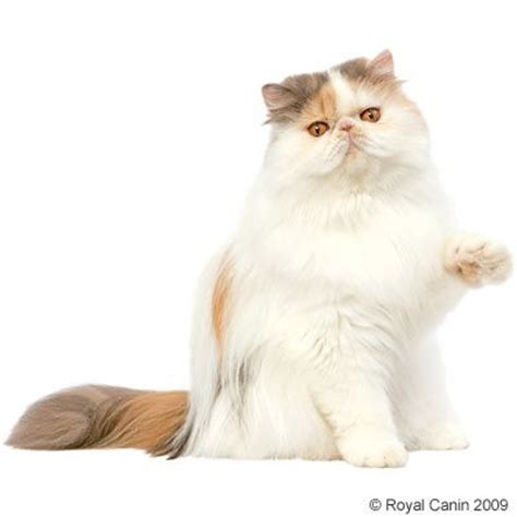 gatte persiane royal canin zooplus
