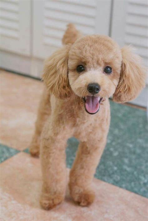 toy poodle haircuts pictures best 25 poodle grooming ideas on pinterest