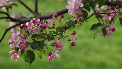 pink and white blossoms blow in the breeze on a crab apple