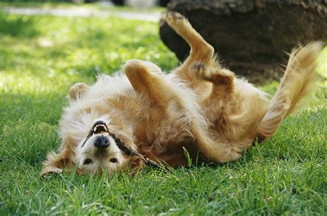 golden retriever teddy a golden retriever named teddy rolling photograph by jason edwards