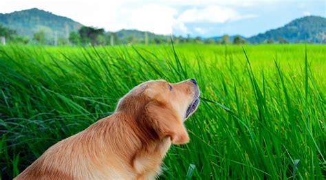 why dogs eat grass why do dogs eat grass rover